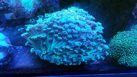 corales (100)