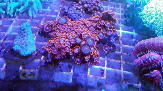 corales (103)