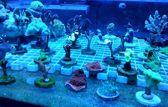corales (54)