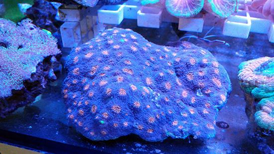 corales (72)